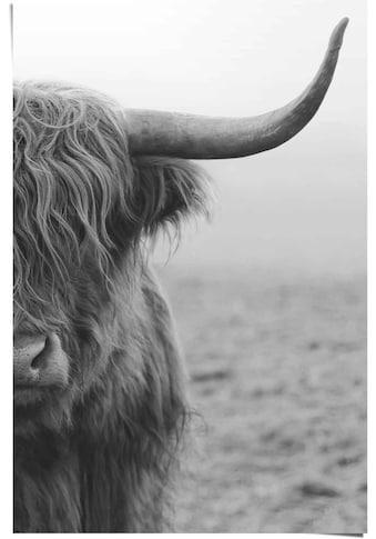 Reinders! Poster »Poster Highlander Bulle«, Kuh, (1 St.) kaufen