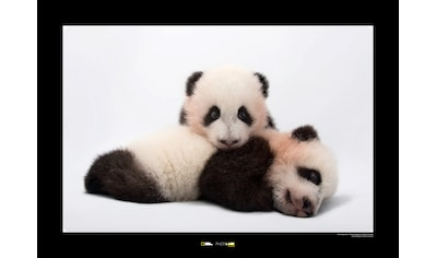 KOMAR Wanddekoration »Giant Panda« kaufen