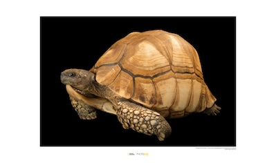 KOMAR Wanddekoration »Ploughshare Tortoise« kaufen
