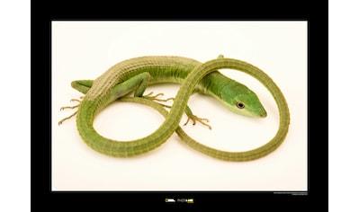 KOMAR Wanddekoration »Green Grass Lizard« kaufen