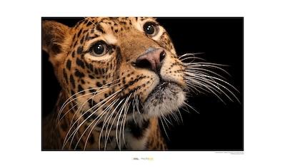 KOMAR Wanddekoration »Javan Leopard« kaufen