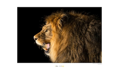 KOMAR Wanddekoration »Barbary Lion« kaufen