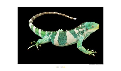 KOMAR Wanddekoration »Fiji Island Banded Iguana« kaufen