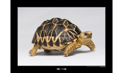 KOMAR Wanddekoration »Burmese Star Tortoise« kaufen
