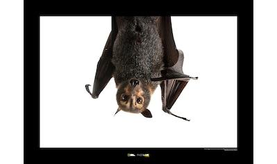 KOMAR Wanddekoration »Spectacled Flying Fox« kaufen