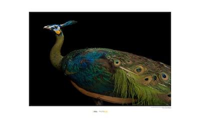 KOMAR Wanddekoration »Java Green Peafowl« kaufen