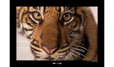 KOMAR Wanddekoration »Sumatran Tiger Portrait« kaufen