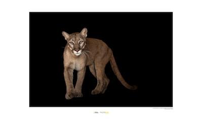 KOMAR Wanddekoration »Florida Panther« kaufen