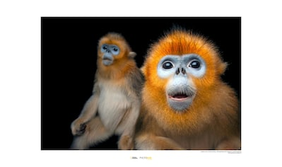 KOMAR Wanddekoration »Golden Snub - nosed Monkey« kaufen