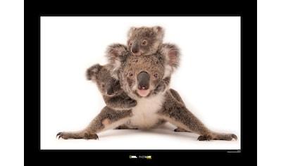 KOMAR Wanddekoration »Koala« kaufen