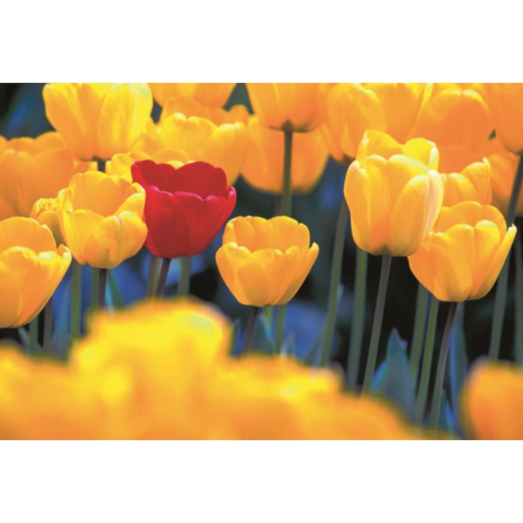 Home affaire Leinwandbild »Rote Tulpe«, 118/78 cm
