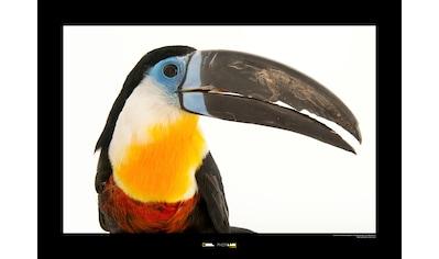 KOMAR Wanddekoration »Channel - billed Toucan« kaufen